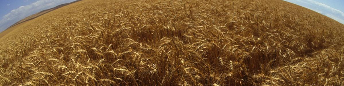 Wheat breeding at Oregon state
