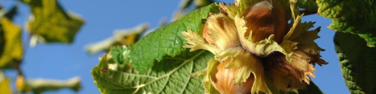 Hazelnut breeding