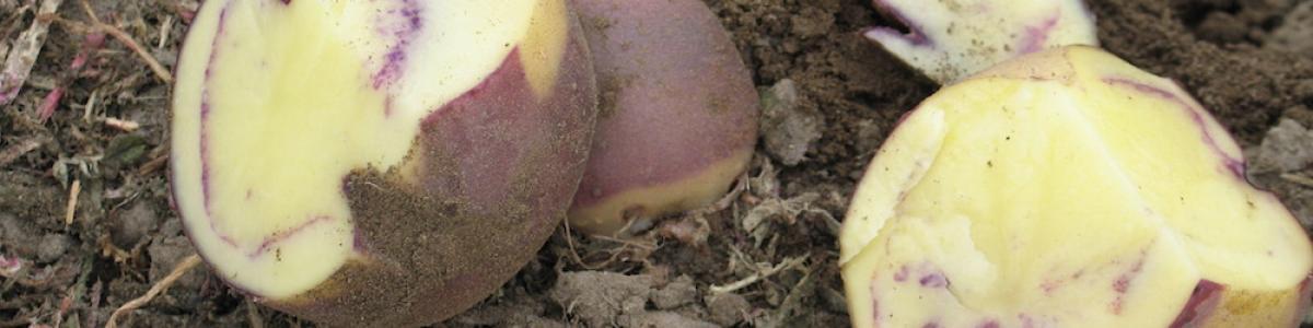 potato breeding at OSU